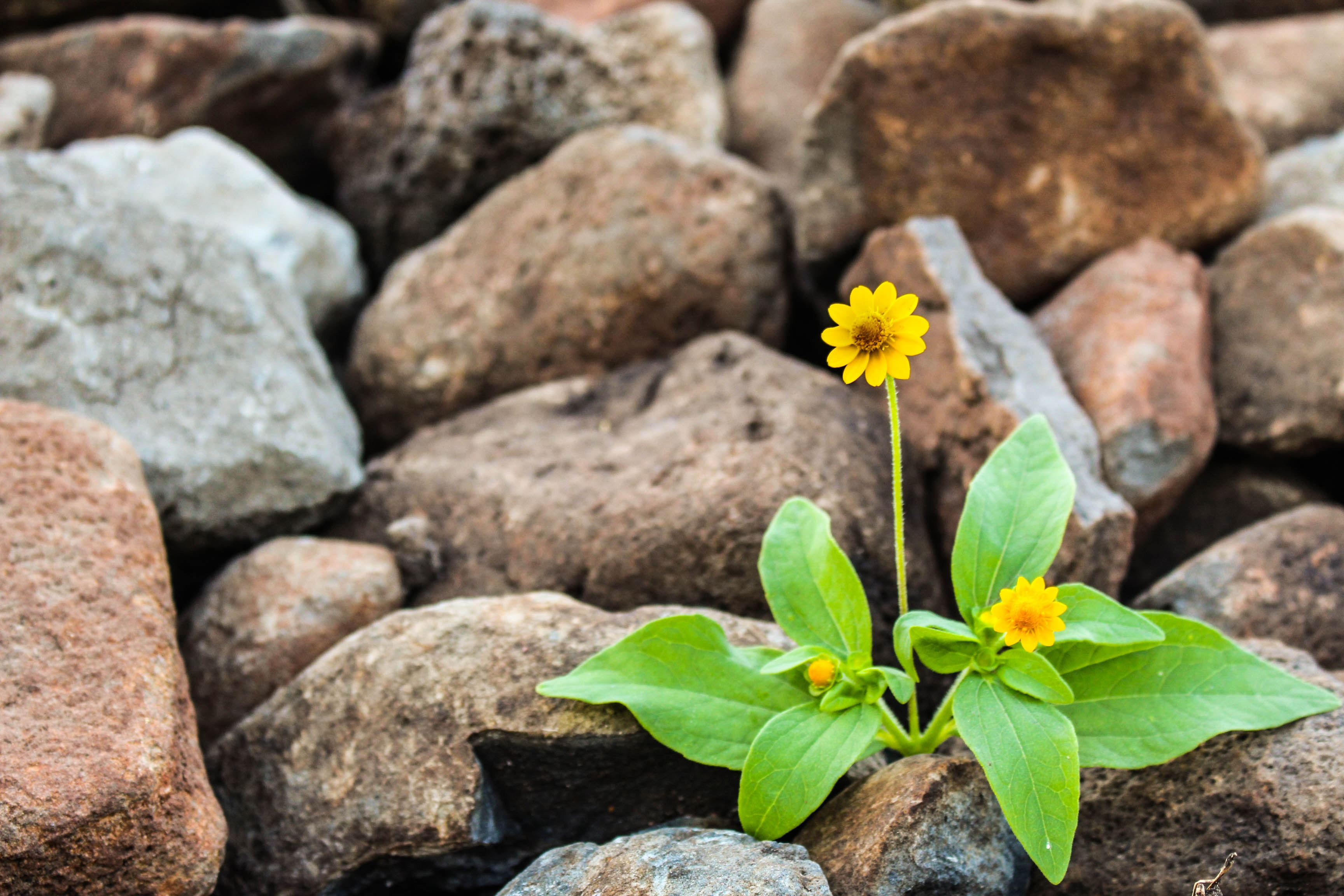 two-yellow-flowers-surrounded-by-rocks-1028930 (1)